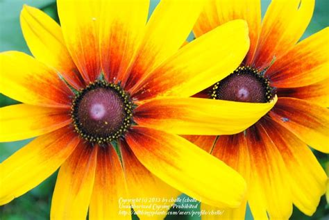 How To Prepare A Garden Bed Black Eyed Susans Plant Care And Collection Of Varieties