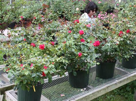 rosa in vaso piantare in vaso