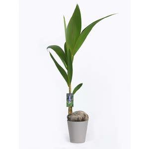 Coco Nucifera Entretien coco nucifera avec cache pot plantes vertes maison botanic