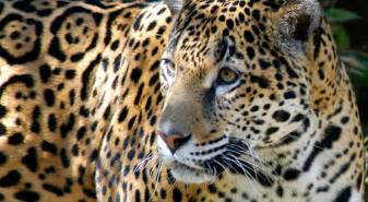 Are Jaguars Endangered Species Crucial Measures Are Being Taken To Halt The Escalation Of