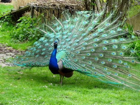 pavos reales top 10 most beautiful birds in the world mill door makes