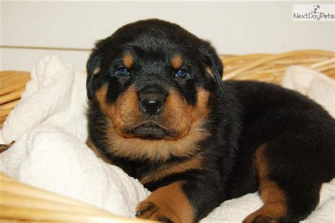 rottweiler puppies for sale in harrisburg pa rottweiler puppy for sale near harrisburg pennsylvania 6e72fff2 8b21