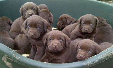 chocolate lab puppies for sale in ny image gallery lab breeders