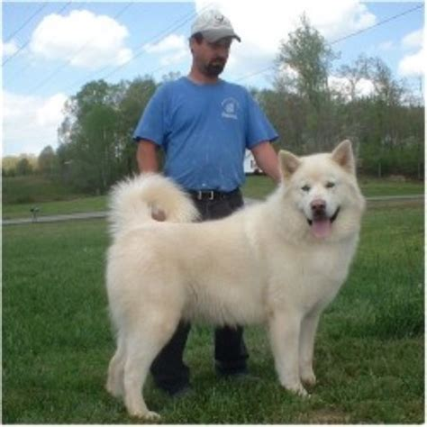 alaskan malamute puppies for sale in ohio hudson s malamutes alaskan malamute breeder in baxter tennessee