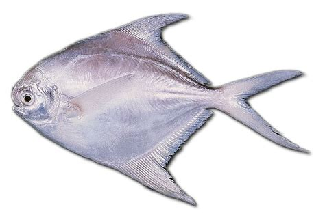 Bibit Ikan Bawal Putih analisa usaha larva ikan bawal 1001 ide usaha ada di sini