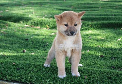 cani di razza piccola per appartamento cani per appartamento piccola taglia samsung smartphone