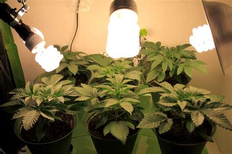 cfl grow lights for indoor plants growing marijuana with cfls starter shopping list grow