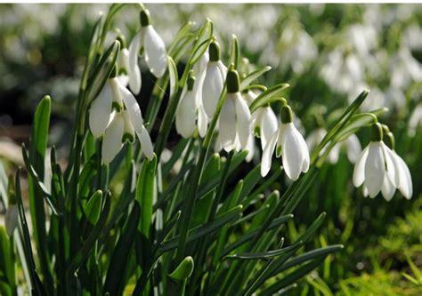 Shade Trellis Snowdrops In The Green Single Galanthus Nivalis