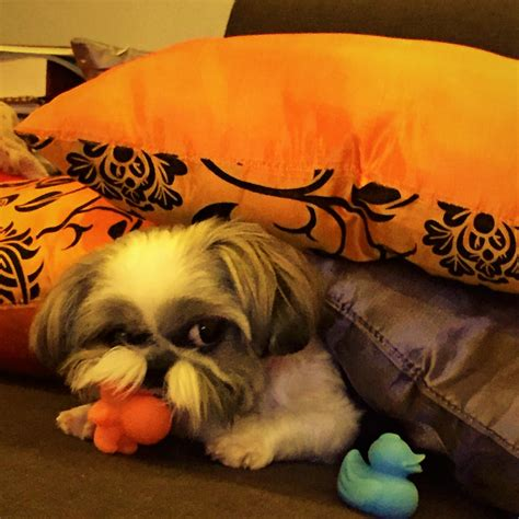 how can you leave a shih tzu alone home alone what to do before leaving your shih tzu at home shih tzu