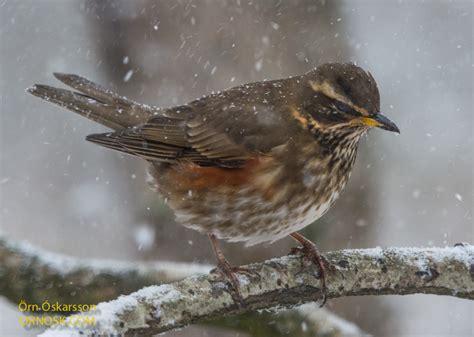 winter birds ornosk birds landscape weather