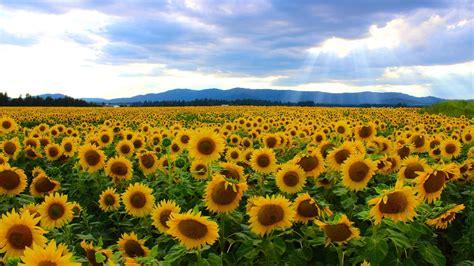 sunflower fields sunflower field in the netherlands 3266x1835 earthporn