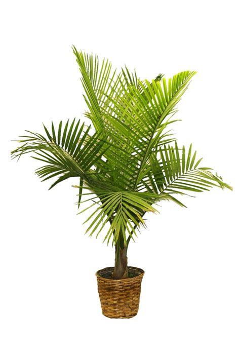 palmenarten zimmerpflanzen palmenarten als zimmerpflanzen winterharte exotische