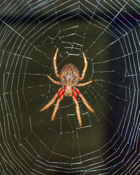 Garden Spider Orb Weaver Australian Garden Orb Weaver Spider Eriophora Transmarina