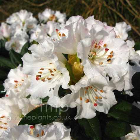 Net Name Search Florida A Large Image Of Rhododendron Morii Fl From Plant Encyclopedia