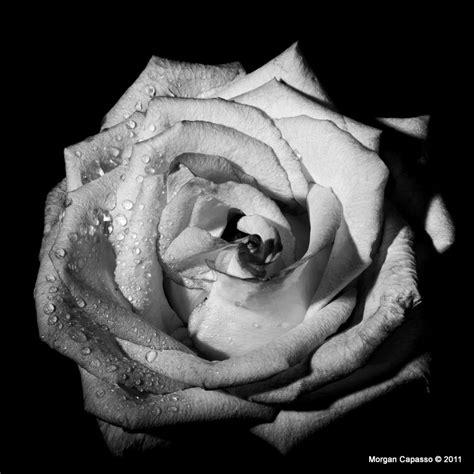 fiori in bianco e nero rosa in bianco e nero foto immagini macro e up