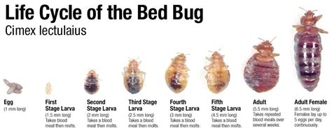 How To Get Rid Of Bed Bug Bites Scars by How To Get Rid Of Bed Bugs Innovative Pest Management