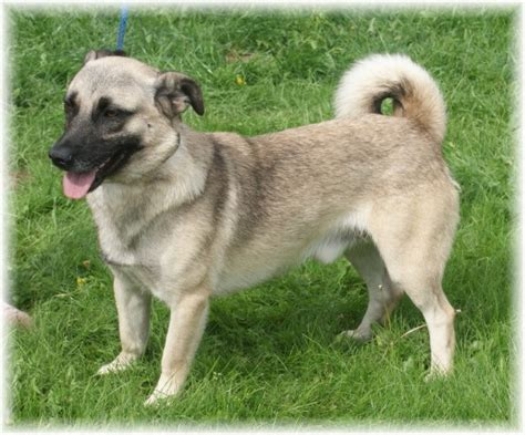 crossbreed dogs bruno 2 year cross breed for adoption