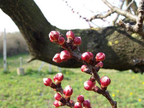 fiori albicocco foto fioritura albero di albicocco