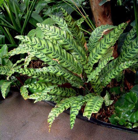 Calathea Lancifolia Insignis Rattlesnake Plant calathea insignis rattlesnake plant