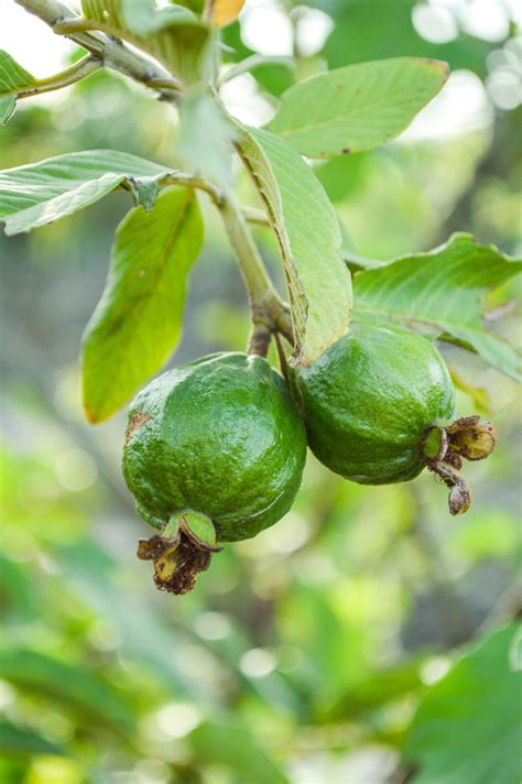 fruit tree care guava tree information growing and caring for a guava tree