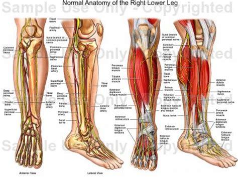 Human Anatomy Diagram. Interactive Guide Human Leg Anatomy