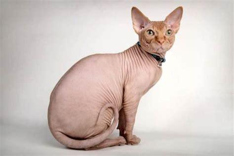 gatti persiani costo gatto egiziano senza pelo carattere lettera43 it