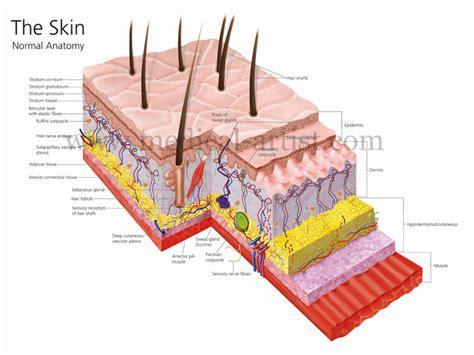 skin layers diagram anatomy