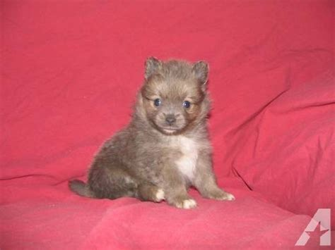 pomeranian puppies for sale missouri pin akc pomeranian puppies for sale in south shore missouri classifieds on