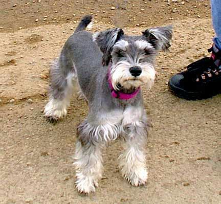 schnauzer hair styles 17 best images about haircut schnauzer miniature