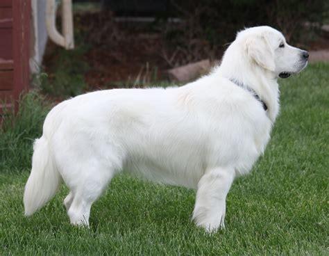 retired golden retriever for sale b s chuck b golden retrievers golden retriever puppies for sale