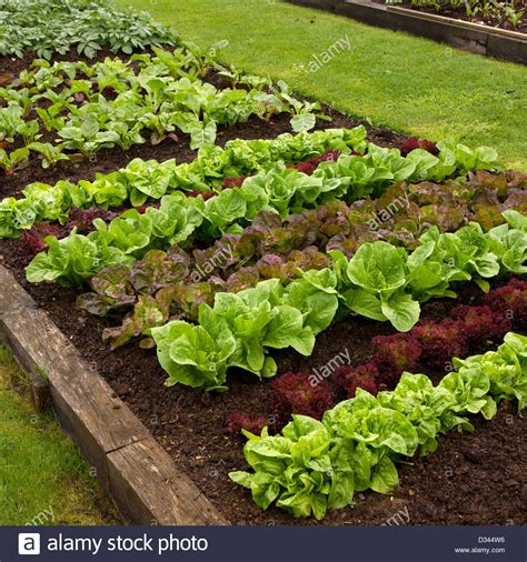 Rows Of Lettuce Plants Growing In Vegetable Garden Easton Walled Garden Nursery