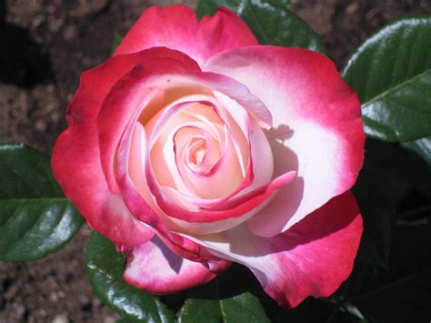imagenes de rosen up die sch 246 nste rose der welt foto bild pflanzen pilze