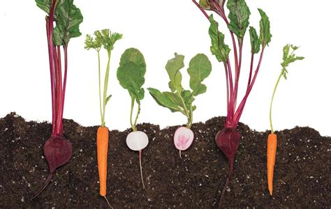 vegetables with roots city bee country bee pacific magazine