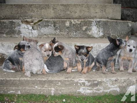 blue heeler puppies for sale in ohio adorable blue heeler puppies for sale in dalton ohio classified americanlisted