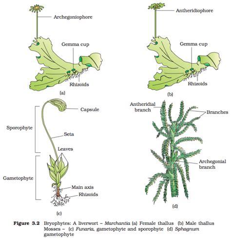 liverwort cycle diagram image gallery liverwort gametophyte