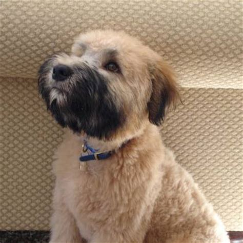 akcwheaton cut american bulldog puppies soft coated wheaten terrier