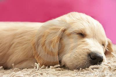 golden retriever puppy 6 weeks golden retriever puppy 6 weeks asleep royalty free stock photos image 12137888