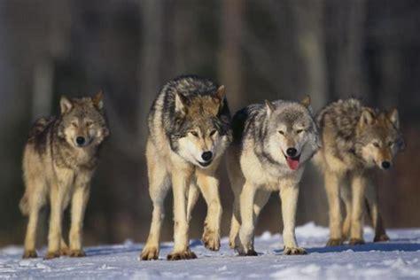minicuentos de lobos y meute des loups lunaires mll meute de loup lunaire mll