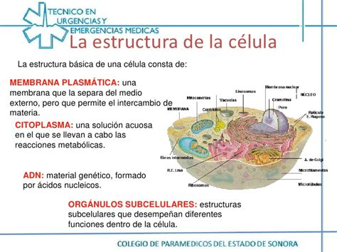 la estructura de la homestacis celula