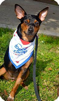 what age do yorkie puppies stop growing australian kelpie doberman pinscher mix puppy for adoption in san diego california