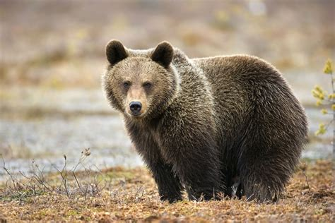 C Bears 10 essential facts about bears