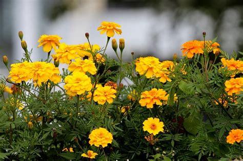 fiore di calendula calendula la pianta officinale da coltivare in vaso o in