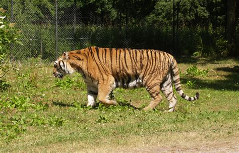tiger denmark file knuthenborg safaripark tiger jpg wikimedia commons