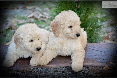 Goldendoodle Puppy For Sale Near Carolina