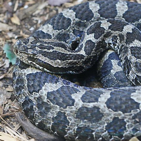 color pattern of poisonous snakes this snake is ready to strike snake attack position
