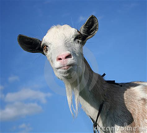 The Nanny Goat S Kid image gallery nanny goat