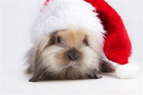 images of christmas rabbits your rabbit and the holidays what you need to know