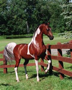 arabian colors arabian stallion color of fame arabian horses of serr