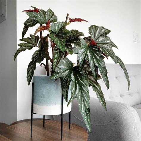 cane begonia begonia lady vanderwilt