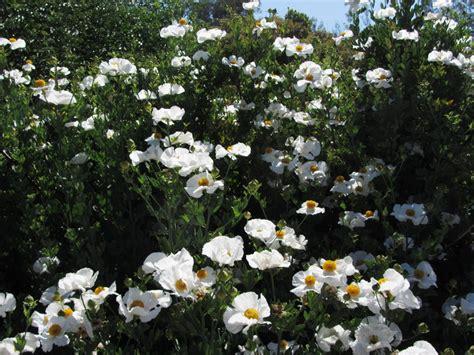 romneya coulteri matilija poppy matilija nursery california native plant and iris nursery
